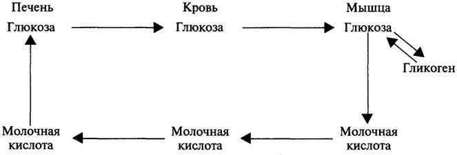 Схема 4. Цикл Кори