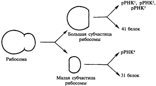 Рис. 17. Структура рибосомы
