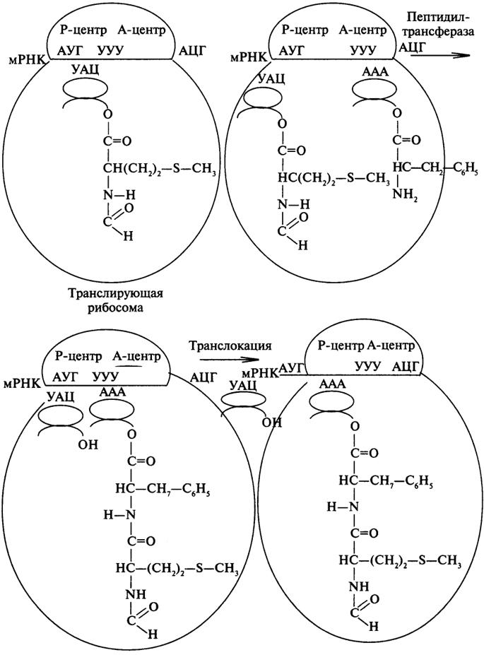 Схема синтеза белка в рибосоме