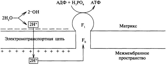 Синтез АТФ, сопряженный с