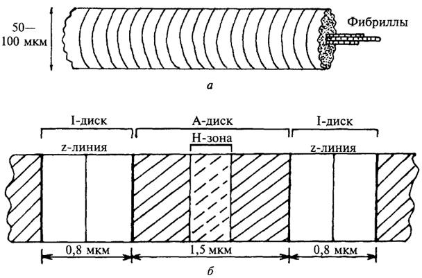 а - мышечное волокно;