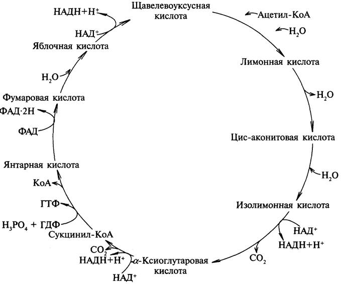 Цикл Кребса фото