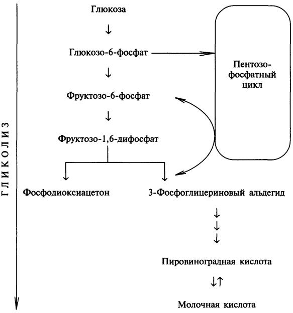 Схема 3. Взаимосвязь гликолиза