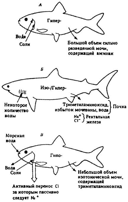 пресноводных костистых рыб (А)