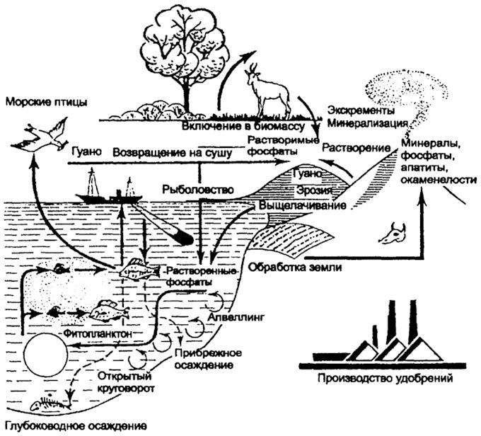Круговорот фосфора (по Ф.