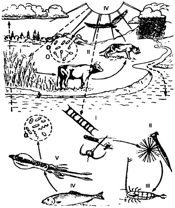 Широко распространен тип пищевых отношений, представленный на рис. 12.21 и табл. 12.5.  Структура пищевой цепи.